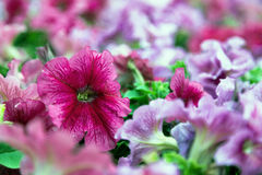 Fuchsia lilac purple petunias Stock Images