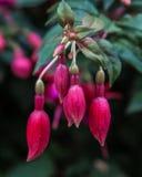 Fuchsia magellanica clossom. Fuchsia magellanica blossom Royalty Free Stock Image
