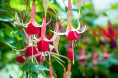 Fuchsia magellanica flower Stock Image
