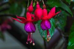 Fuchsia Magellanica. Fuchsia Magellanica or Hummingbird Fuchsia ,beautiful flower stock photography