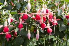 Fuchsia Magellanica in an ornamental garden Royalty Free Stock Photography