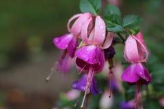 Fuchsia met regendruppels Royalty-vrije Stock Foto