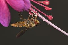 Fuchsia met syrphidvlieg Royalty-vrije Stock Fotografie