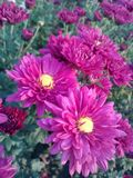 Fuchsia Mums. Flowers colorful nature garden pretty royalty free stock photos