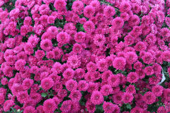 Fuchsia mums. Vibrant fuchsia colored chrysanthemums in full bloom Royalty Free Stock Photo