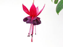 Fuchsia ( New Millenium ) Stock Photography