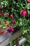 Fuchsia  Onagraceae Flower Royalty Free Stock Photos