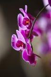 Fuchsia orchid Stock Image