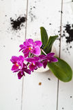 Fuchsia Phalaenopsis flower in a ceramic pot Royalty Free Stock Photo
