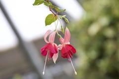 Fuchsia Royalty Free Stock Images