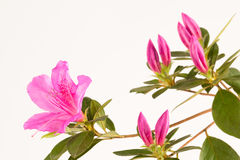 Fuchsia pink azalea branch Royalty Free Stock Photo