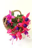 Fuchsia Stock Photography
