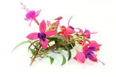 Fuchsia Royalty Free Stock Image