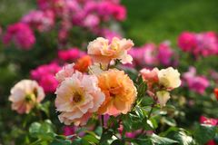 Fuchsia, pink and orange roses in full bloom. In May royalty free stock photography
