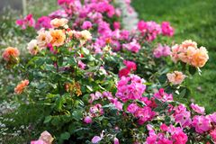 Fuchsia, pink and orange roses in full bloom. In May royalty free stock image