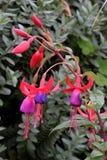 Fuchsia. Pink and purple fuchsia flowers, green foliage background Stock Photos