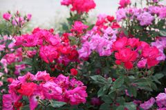 Fuchsia and pink roses in full bloom. In May royalty free stock photos