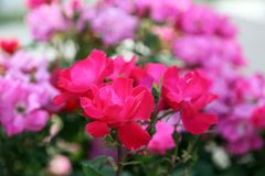 Fuchsia and pink roses in full bloom. In May royalty free stock photography