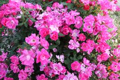 Fuchsia and pink roses in full bloom. In May stock image