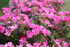 Fuchsia and pink roses in full bloom. In May stock photos