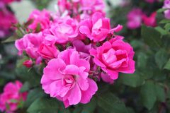 Fuchsia and pink roses in full bloom. In May stock photo