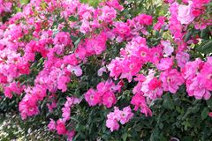 Fuchsia and pink roses in full bloom. In May stock photography