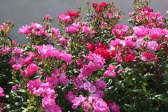 Fuchsia and pink roses in full bloom. In May royalty free stock image