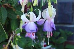 Fuchsia plant. Beautiful purple flowers - fuchsia plant stock photos