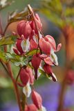 Fuchsia plant in bloom. In the garden royalty free stock photo