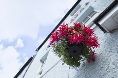 Fuchsia plant in the building house stock image