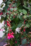 Fuchsia plant cultivars onagraceae with pink red flower buds. Close up royalty free stock image