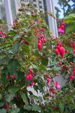 Fuchsia plant cultivars onagraceae with pink red flower buds. Close up stock photos
