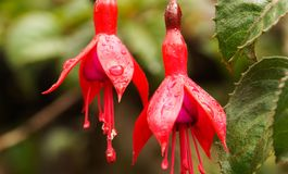 Fuchsia plant in Peru. Red Fuchsia plant in Peru royalty free stock images
