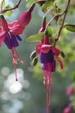 Fuchsia plant pink and purple. Fuchsia plant, pink and purple in hanging basket in Clinton Arkansas stock photo