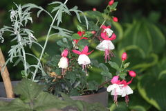 Fuchsia Plant & x28;red and white& x29;. Ornamental Fuchsia plant with hanging red and white flowers stock images