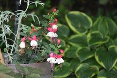 Fuchsia Plant & x28;red and white& x29;. Ornamental Fuchsia plant with hanging red and white flowers stock image