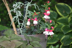 Fuchsia Plant & x28;red and white& x29;. Ornamental Fuchsia plant with hanging red and white flowers royalty free stock images