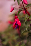 Fuchsia plant showing its flower in the Spring. Macro of fuchsia plant showing its flower in the Spring royalty free stock images