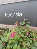 Fuchsia plant sign. Fuchsia sign advertising plants for sale stock photography