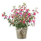 Fuchsia plant in vase. Isolated on white royalty free stock images