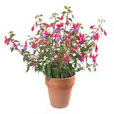 Fuchsia plant. In vase isolated on white royalty free stock images