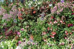 Fuchsia Plants. Royalty Free Stock Photography