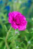 Fuchsia Portulaca oleracea flower Stock Images