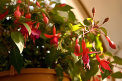 Fuchsia in pot Royalty Free Stock Images