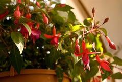 Fuchsia in pot Royalty-vrije Stock Afbeeldingen
