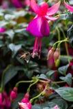 Fuchsia, Purple Pink-Red Stock Photography