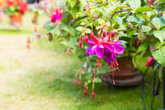Fuchsia. Purple and red fuchsia in pots on a lawn in a garden Royalty Free Stock Photos