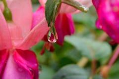 Fuchsia Royalty Free Stock Photos
