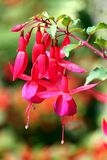 fuchsia red royaltyfria foton