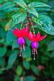 Fuchsia in Red-Purple. Two beautiful Fuchsia in Red-Purple Royalty Free Stock Image
